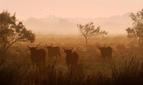Stierherde, fotografiert von Thierry Vezon